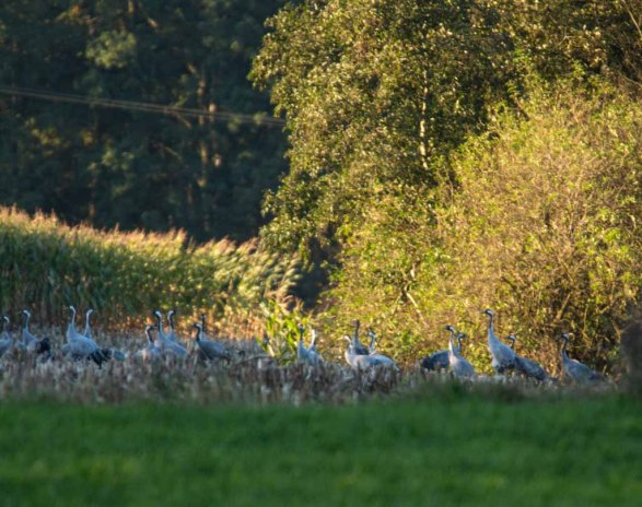 Kraniche auf den Feldern von Sanitz (c) FRank Koebsch (1)