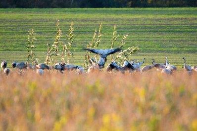 Kraniche auf den Feldern von Sanitz (c) FRank Koebsch (2)