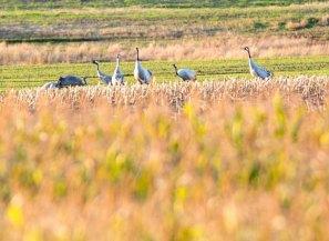 Kraniche auf den Feldern von Sanitz (c) FRank Koebsch (3)
