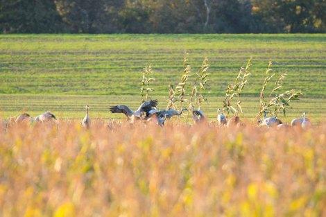 Kraniche auf den Feldern von Sanitz (c) FRank Koebsch (4)