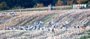 Kraniche und Rehe auf den Feldern von Sanitz (c) FRank Koebsch