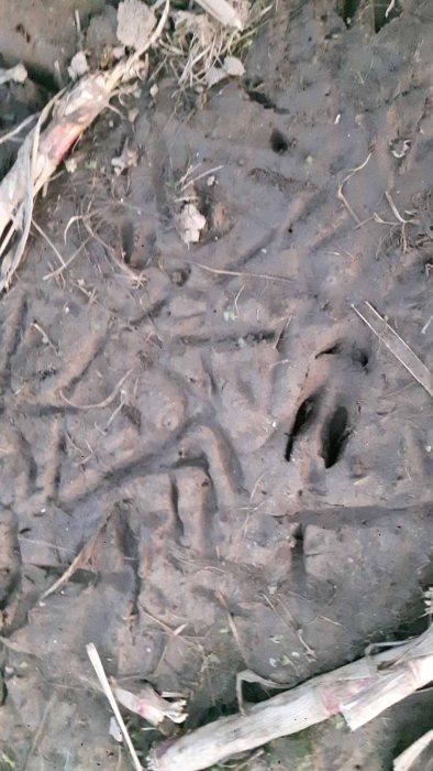 Spuren der Kraniche und Rehe auf den Feldern von Sanitz (c) Frank Koebsch