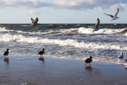 Enten und Möwen am Ostseestrand (c) Frank Koebsch (1)