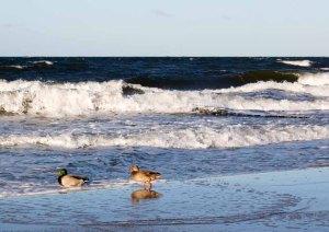 Enten und Möwen am Ostseestrand (c) Frank Koebsch (4)