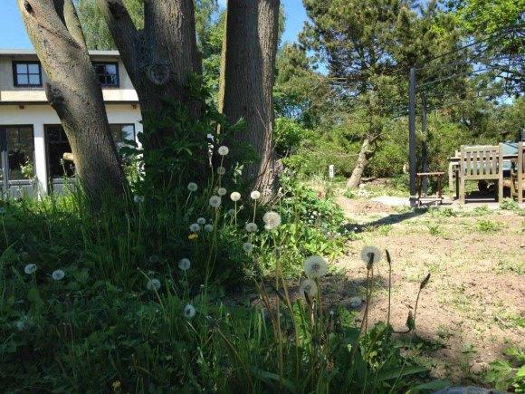 Pusteblumen im Garten der Alten Büdnerei (c) Kirsten Paulsen