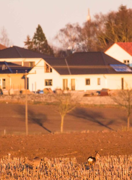 Rehe auf den Feldern von Sanitz (c) FRank Koebsch (10)