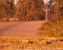 Rehe auf den Feldern von Sanitz (c) FRank Koebsch (15)