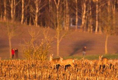 Rehe auf den Feldern von Sanitz (c) FRank Koebsch (5)