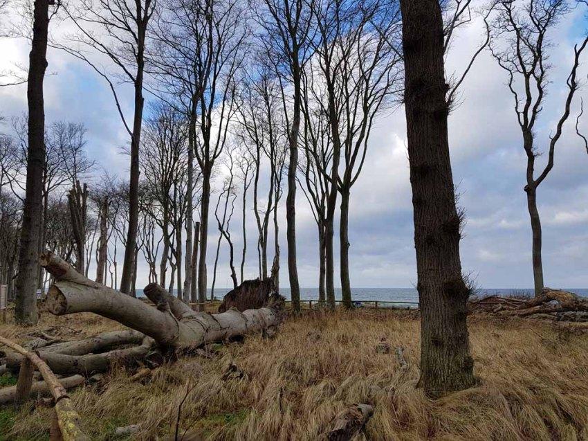 Sturmschäden im Gespensterwald Nienhagen (c) FRank Koebsch (3)