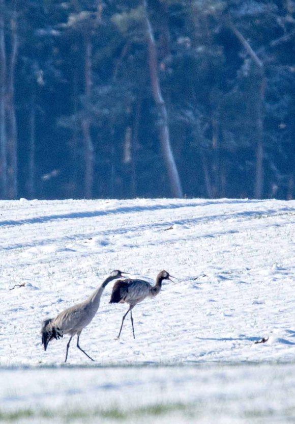 Kraniche im Schnee auf den Wiesen an der Peene (c) Frank Koebsch (21)