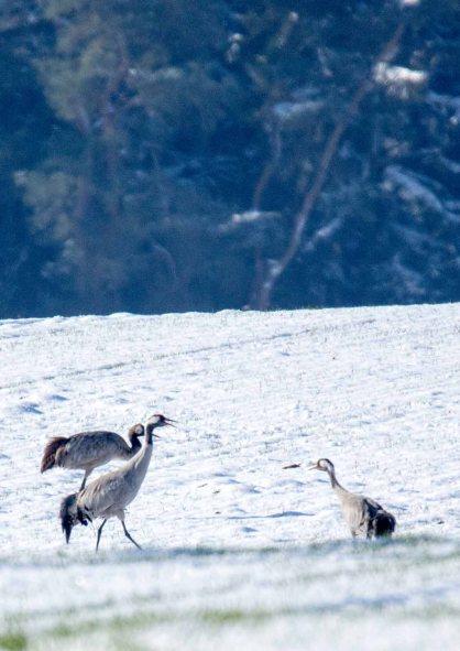 Kraniche im Schnee auf den Wiesen an der Peene (c) Frank Koebsch (29)