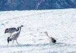 Kraniche im Schnee auf den Wiesen an der Peene (c) Frank Koebsch (1)