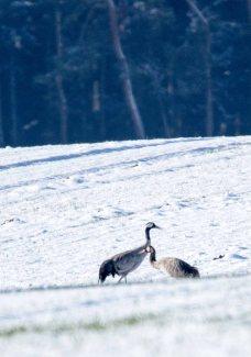 Kraniche im Schnee auf den Wiesen an der Peene (c) Frank Koebsch (4)