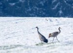 Kraniche im Schnee auf den Wiesen an der Peene (c) Frank Koebsch (47)
