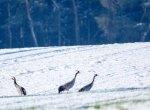 Kraniche im Schnee auf den Wiesen an der Peene (c) Frank Koebsch (8)