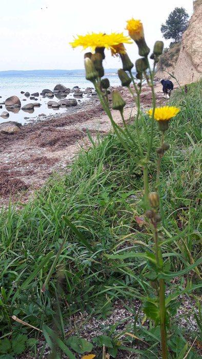 Letze Blüten am Strand von Reddevitzer Höft (c) FRank Koebsch (1)
