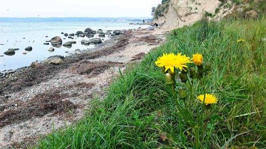 Letze Blüten am Strand von Reddevitzer Höft (c) FRank Koebsch (2)