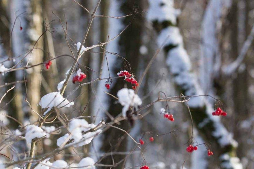 Rote Beeren als Farbtupfer im Winterwald (c) Frank Koebsch