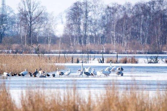 Schwäne und Enten an der Peene bei Menzlin (c) FRank Koebsch .