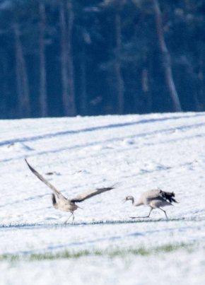 Tanz der Kraniche im Schnee auf den Wiesen an der Peene (c) Frank Koebsch (2)