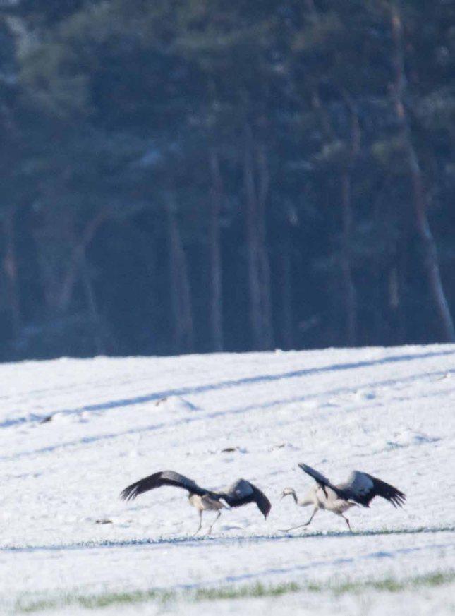 Tanz der Kraniche im Schnee auf den Wiesen an der Peene (c) Frank Koebsch (3)