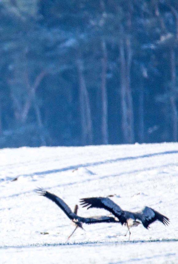 Tanz der Kraniche im Schnee auf den Wiesen an der Peene (c) Frank Koebsch (4)
