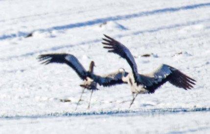 Tanz der Kraniche im Schnee auf den Wiesen an der Peene (c) Frank Koebsch (5)