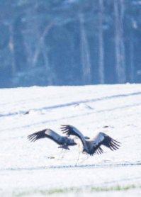 Tanz der Kraniche im Schnee auf den Wiesen an der Peene (c) Frank Koebsch (6)