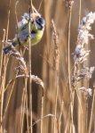 Blaumeise im Schilf an der Peene (c) FRank Koebsch (15)
