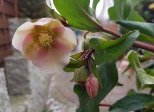 Blüten der Lenzrosen (c) FRank Koebsch (1)