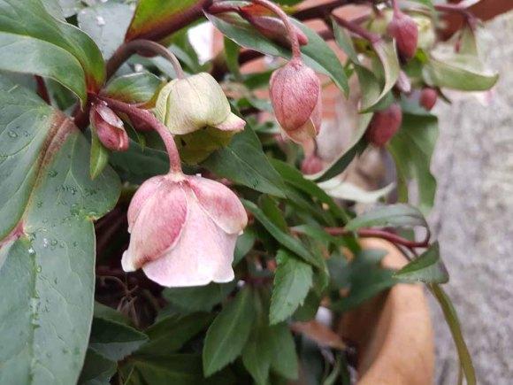 Blüten der Lenzrosen (c) FRank Koebsch (11)
