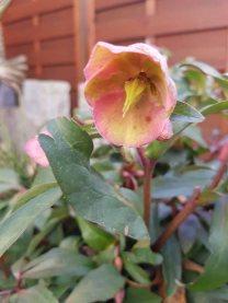 Blüten der Lenzrosen (c) FRank Koebsch (2)