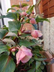 Blüten der Lenzrosen (c) FRank Koebsch (3)