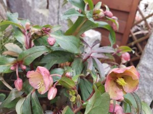 Blüten der Lenzrosen (c) FRank Koebsch (4)