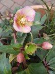 Blüten der Lenzrosen (c) FRank Koebsch (5)