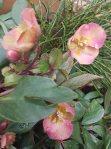 Blüten der Lenzrosen (c) FRank Koebsch (6)