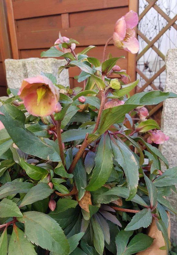Blüten der Lenzrosen (c) FRank Koebsch (7)