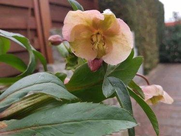 Blüten der Lenzrosen (c) FRank Koebsch (8)