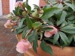Blüten der Lenzrosen (c) FRank Koebsch (9)