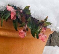 Blüten der Lenzrosen im Winter (c) Frank Koebsch (1)