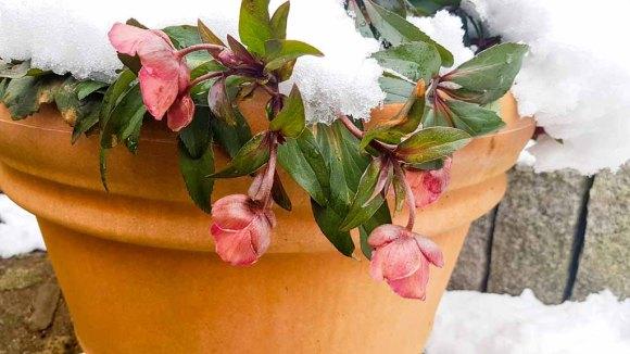 Blüten der Lenzrosen im Winter (c) Frank Koebsch (2)