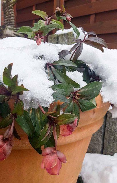 Blüten der Lenzrosen im Winter (c) Frank Koebsch (3)
