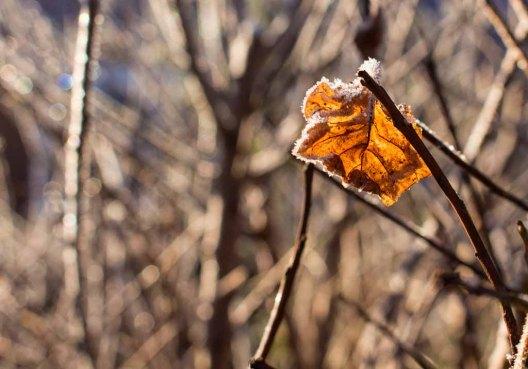 Oranges Blatt vereist (c) Frank Koebsch