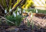 Schneeglöckchen in unserem Garten (c) Frank Koebsch (1)