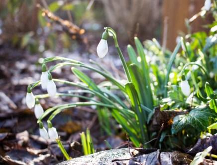 Schneeglöckchen in unserem Garten (c) Frank Koebsch (2)