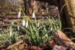 Schneeglöckchen sind herrliche Frühlingsmotive (c) FRank Koebsch (1)