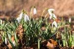 Schneeglöckchen sind herrliche Frühlingsmotive (c) FRank Koebsch (2)