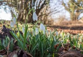 Schneeglöckchen sind herrliche Frühlingsmotive (c) FRank Koebsch (3)