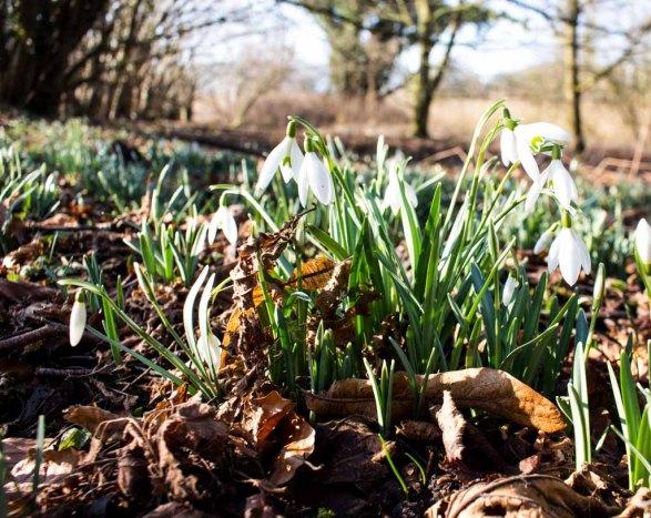 Schneeglöckchen sind herrliche Frühlingsmotive (c) FRank Koebsch (4)