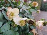 vergängelicjhe Schönheiten - Blüten der Lenzrosen (c) Frank Koebsch